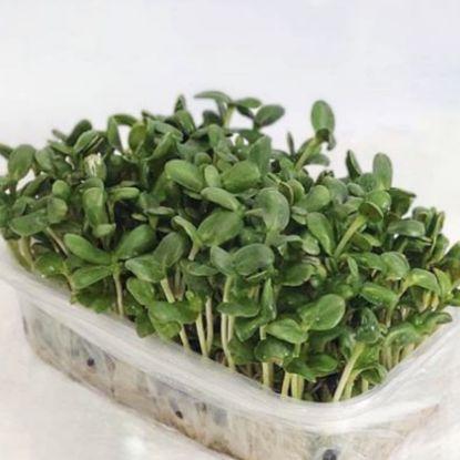 Зображення Microgreen - соняшник